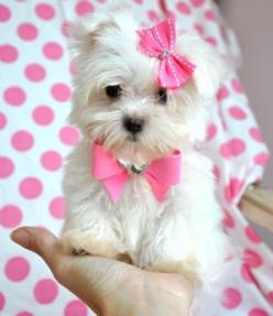 Teacup Maltese.   (KO)  Itty bitty pup. A girly pup. With pink bows. Totally portable.: Dogs, Maltese Puppies, Teacup Maltese, Teacup Puppies, Pet, Puppy, Baby, Animal