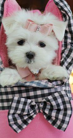 teacup maltese puppy; cute puppies; dogs; animals; pets; babies; baby; photography; pink ribbon; bow; flowers: Cute Puppies, Teacup Dog, Maltese Puppy, Pet, Pink Ribbons, Ribbon Bows, Baby Photography, Teacup Maltese Puppies, Animal