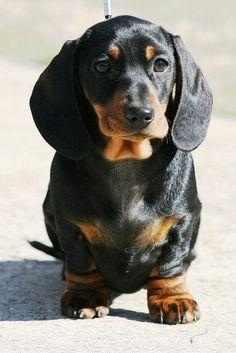 Temperament and Personality of Dachshund Click the picture to read: Daschund, Dachshund Puppies, Doxie, Dachshund Dog, Dachshund S, Animal