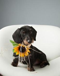 Teresa Berg's Five Tips For Better Dog Photography,: Berg Photography, Sausage Dogs, Magazine October, Dog News, Dachshund Dog, Dog Photography, Things Doxie, Photo Idea
