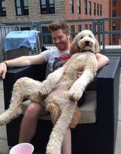 The dog that just wants to hang out on your lap: | 21 Dogs That Are Completely Mistaken About How Big They Are: Thinks She S, Animals, Dogs, Pets, Goldendoodle, Friend