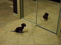 This dachshund puppy is astonished to find that a new friend in the mirror (him!!). Sooooo cute!