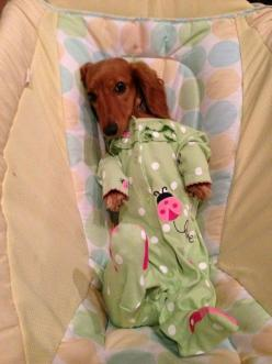 Time for night night. - dachshund tucked in for sleep (cute!): Things Dachshund, Dogs, Dachshund Dog Doxie, Dachshund Teckel, Baby, 738 Pixels, Animal