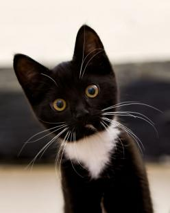 What did you say? I'm pretty, oh yeah I know.: Kitty Cats, Animals, Tuxedo Cats, Kittens, Black Cat, White Cat