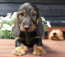 Wirehair baby Dachshund. Precious!: Wirehaired Dachshund Puppies, Dogs, Dachshund, Doxies, Puppy, Wire Haired Dachshund, Photo, Animal