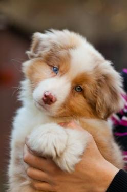 ♕YOᑌᑎG ᗯIᒪᗪ ᗩᑎᗪ ᖴᖇEE♕: Australian Shepard, Animals, Dogs, Border Collie, Pet, Puppys, Australian Shepherd, Aussie, Eye