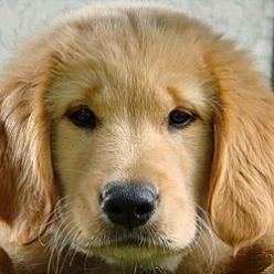 """Never too many Golden Retriever puppy videos - always room for one more Golden! ;Always happy and lovable are words that describe the Golden Retriever best.  You will laugh out loud at """"Wipe Out!"""" It has over 1,000,000 views!  Please share your lo"""
