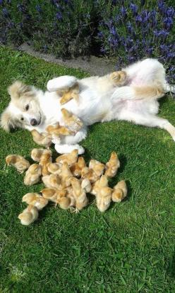These chicks who are attacking their puppy friend with cuddles. | The 37 Cutest Baby Animal Photos Of 2014: Baby Chick, Animals, Friends, Dogs, Pets, Puppys, Baby Animal