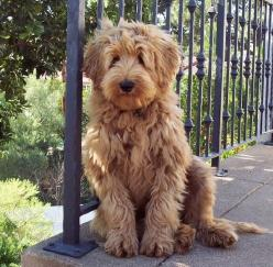 5 fun facts about dogs you never heard of, I loved to know them :): Australian Labradoodle, Animals, Dogs, So Cute, Puppy, Goldendoodle, Friend, Golden Doodles
