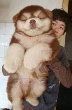 5 Most Amazing Hybrid Breeds #Dog #Animals: Huge Dogs, Big Fluffy Dogs, Chow Chow Dogs, Doggy Animals, Cute Pets, Dogs Puppies, Cutie Dogs, Chusky Dog