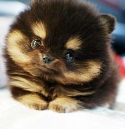 a pomsky puppy.. i just wanna squeeze it. (:: Animals, Dogs, So Cute, Pet, Puppys, Puppy, Adorable, Pomeranian