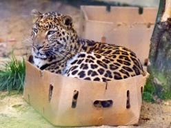All cats love cardboard boxes. ALL cats.: Fit, Big Cats, Animals, Cat Love, Boxes, Bigcats, Funny, Kitty, Leopard