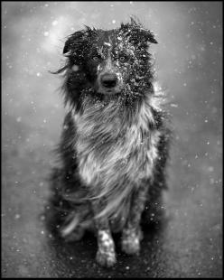 Amazing shot of an aussie/border collie in the swirling snow.: Border Collies, Animals, Walker Studio, Dogs, James D'Arcy, Australian Shepherd, Photo