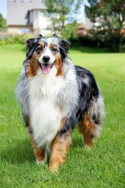 Australian Shepherd  - Historians debate the Australian Shepherd's breed origin. Some argue an Australian origin; some accept a Basque heritage; some a Spanish origin. There's probably a little truth in each theory. The breed has been well known i