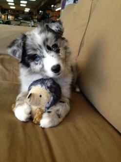 Australian Sheppard Puppy....so cute!!: Australian Shepard, Puppys, Puppy, Australian Shepherd, Golden Retriever, Animal, Aussie