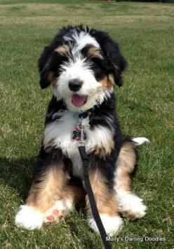 Bernedoodle!!! Awesome dog! Would love for it to be my & hubby's first together!: Doodles Dog, Doodle Mix Dog, Mixed Dog, Bernedoodle Pup, Doodle Dog