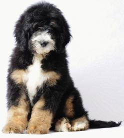 bernedoodle = bernese mt dog + poodle. OMG! I'm now convinced all you have to do is add poodle to a breed and wala,  cuteness.: Doggie, Animals, Bernese Mountain Dogs, Pup, Hypoallergenic Dog, Future Pet, Bernedoodle Bernese
