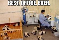Best Office Ever,  Click the link to view today's funniest pictures!: Baby Pandas, Animals, Stuff, Offices, Funny, To Work, Funnies, Things