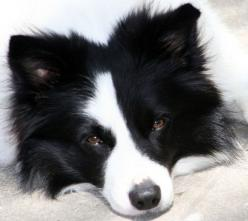 Border Collies.  My great grandma Wurster had one named Bootsy.  I'll never forget how smart that dog was.  When grandma would cry, Bootsy would put his front paws around her neck, lay his head on her shoulder and whimper.: Border Collies, Animals Bir
