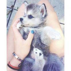 Cute husky puppy with blue eyes Cute dogs ღ found on Polyvore: Babies, Pet Dogs, Adorable Animals, Baby Dogs, Baby Animals, Husky Puppy With Blue Eye, Cute Dogs, Dogs Puppys