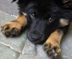 Cute puppy!  I want the first dog I adopt to be some kind of collie or collie mix.: Animals, Pet, German Shepherds, German Sheperd, German Shepherd Puppies, Dog, German Shepard, Gsd