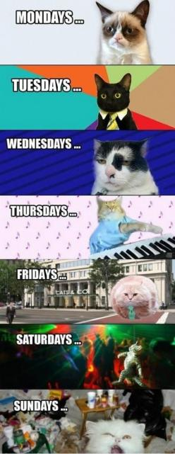 Days of the kitty week: Cats, Animals, Funny Stuff, Humor, Funnies, Things, Grumpy Cat, Week