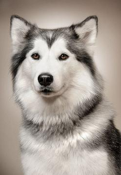 GORGEOUS Siberian Husky kinda looks like mine. except mine has blue eyes.: Animals, Dogs, Siberian Husky, Pets, Siberian Huskies, Puppy