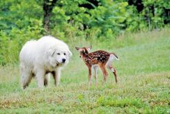 Great Pyrenees meets Bambi - Don't worry that baby is only in danger of being cuddled to death lol: Pyrenees Dogs, Sweet, Marshmallow Dogs Truly, Real Estate, Baby, Big Dogs