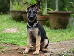 How to Choose a German Shepherd Puppy: 6 Steps (with Pictures): Germanshepherd, German Shepards, Puppys, Gsd Puppy, German Shepherd Puppies, German Shepherd Puppy Funny, Step, Animals Puppydogs, Puppy German Shepherds