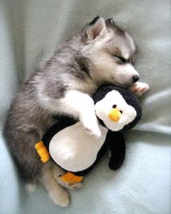hugsy his bedtime penguin pal: Animals, Dogs, So Cute, Pet, Puppys, Husky, Baby, Stuffed Animal