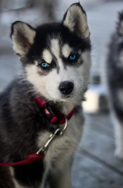 husky puppy - awwww!  (be careful - they grow up to be huge and are full of energy, needing a LOT of fresh air and exercise): Siberian Husky, Beautiful Eyes, Puppys, Blue Eyes, Siberian Huskies, Huskies Puppies, Animal