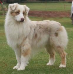 If Oakley darkens as she ages (which I'm guessing she will by her undercoat) she'll look similar to this.: Australian Shepherd Dogs, Dogs I D, Red Merle Australian Shepherd, Funny Dogs, Dogs Aussies, Dogs Just Dogs, Australian Shepherd Red Merle,