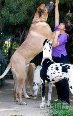 Image detail for -Big Dog pictures | Cleveland Pets | Photos of very big dogs: Great Danes, Animals, English Mastiff, Pets, Bigdogs, Friend, Big Dogs