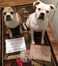 Mom thought i was to OLD to counter surf , SHE WAS WRONG!!!! ……. SHE DID IT!! (I watched!!): Dog Shame, Dog Shaming, Adorable Animals, Bad Dog, Doggie Posters, Counter Surf