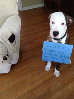 Pet shaming.....level...furniture appetizers: Furniture Appetizers, Animals, Pets, Hilarious, Shaming Level, Pet Shaming