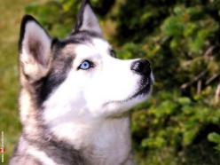 Siberian Husky Dog Siberian Husky Dog: Animals, Dogs, Siberian Husky, Husky Siberiano, Pet, Blue Eyes, Siberian Huskies