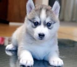 Siberian Husky Puppy: Siberian Husky Puppy, Siberian Husky Puppies, Siberian Huskies, Cute Animals, Blue Eyes, Animals And Pets, Furry Friends