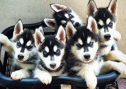 #Siberian #Husky #pups in a laundry basket.: Pup Parents, Husky Pups, 11 Things, Siberian Husky, Parents Understand, Siberian Huskies, Laundry Baskets, Husky Puppies
