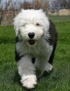 The 5 Best Dog Breeds for Children: Old English Sheepdog, Pet, Old English Sheep Dog, Dog Breeds, Animal, Sheepdog Puppy