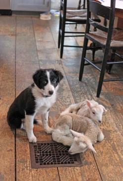 This isn't really a primitive display, but I HAD to pin this picture so I could look at it all the time!!! :-)  THEY ARE SO SWEET!!!!  I want to have lambs in my house now!: Farm, Sheepdog, Border Collies, Dogs, Baby Lamb, Friend, Animal
