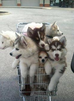 This shopping cart full of husky puppies (with a Chihuahua bonus). | 31 Pictures Of Baby Animals To Remind You The World Is Wonderful: Animals, Dogs, Pet, Shopping Carts, Puppys, Husky, Puppy, Chihuahua