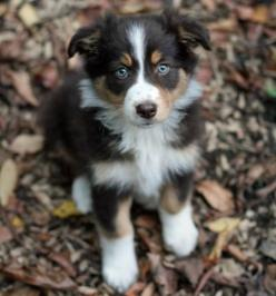 Tri-colored Australian Shepherd. We had an Aussie like this for many years.  She was perfect in every way.  Her name was Tessa.: Border Collie, Dogs, Pet, Australianshepherd, Puppys, Australian Shepherd Puppies, Aussie, Animal, Golden Retriever