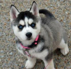 Violet the siberian husky: Animals, Puppies, Siberian Husky, Siberian Huskies, Husky Other Dogs, Puppy, Classmates, Friend
