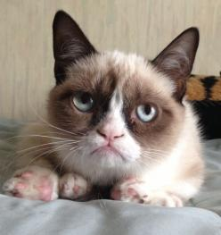 You know who this is by now, right?: Cats, Animals, Grumpy Kitty, Grumpycat, Funny Stuff, Grumpy Cat, Cat Memes