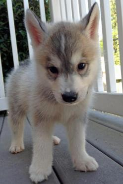 Zeke the Siberian Husky: Cute Puppies, Siberian Husky, Pet, Puppys, Siberian Huskies, Dog, Huskies Puppies, Animal