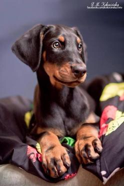 35 Reasons Doberman Pinschers Are The Worst Breed EVER: Doberman Puppy, Doberman Pinscher, Baby Doberman, Dog Breeds, Top, Animal, Doberman Puppies