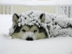 A Malamute at home in the snow...