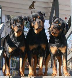 A trio of Rotties. Rottweiler dog art portraits, photographs, information and just plain fun. Also see how artist Kline draws his dog art from only words at drawDOGS.com #drawDOGS http://drawdogs.com/product/dog-art/rottweiler-dog-portrait-by-stephen-klin
