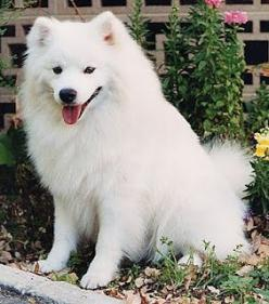 American Eskimo Dog. one dog im hoping to get some day.
