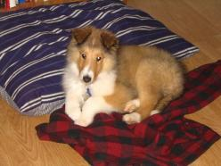 collie puppies   Rough Collie Dog Breed Puppies